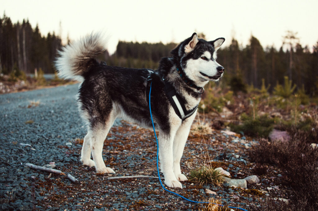 alaskanmalamute-roadtrip-hund-svemester-staycation-dalarna